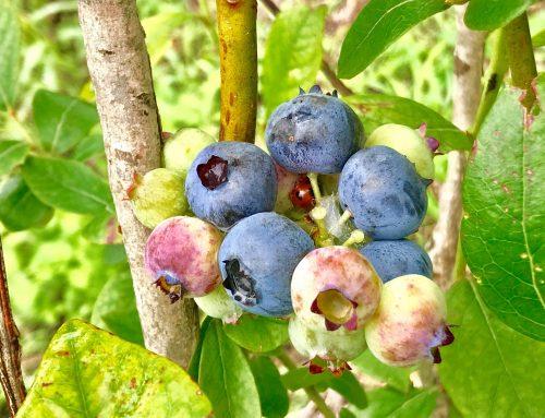 【ブルーベリーの収穫始まりました!】